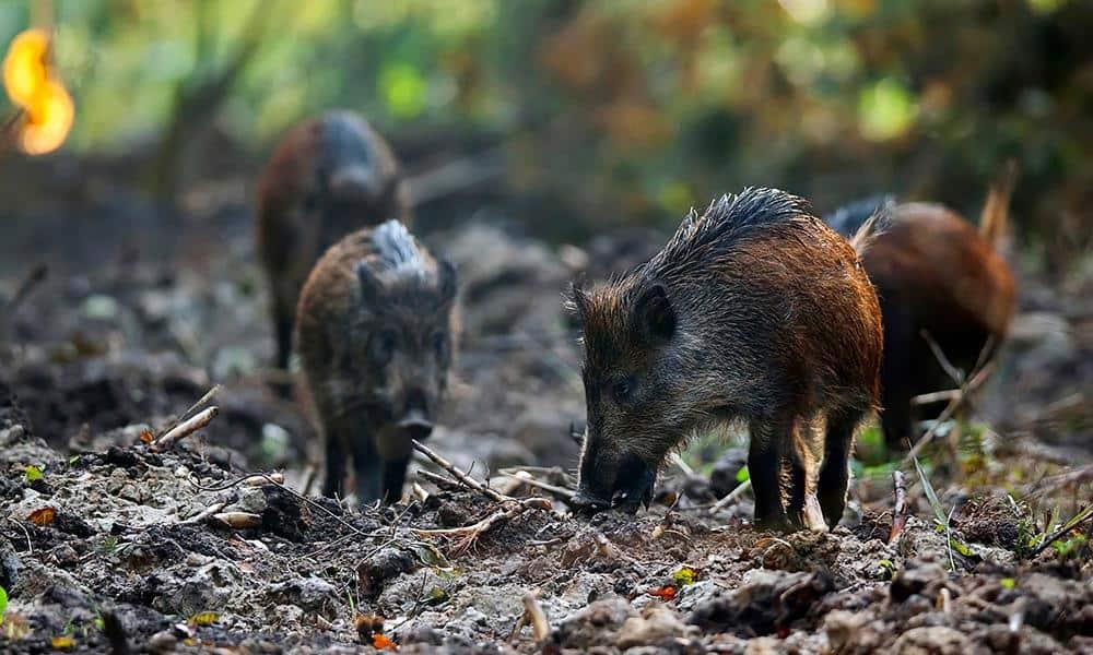 Junge Wildschweine im Wald