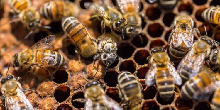 Nahaufnahme von Bienen