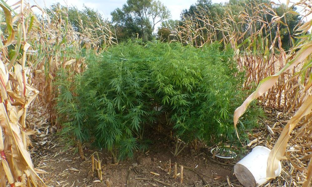 In dem Maisfeld entdeckte der Landwirt zwei Hanfplantagen. - © Polizei Minden