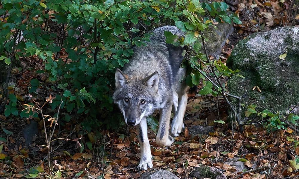 Wolf - © Envato Elements