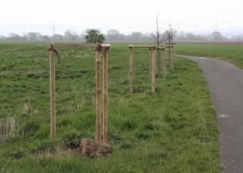 Die Befestigungspfähle sind noch da, vier junge Bäume am Weserradweg wurden entwendet. - © Polizei Höxter