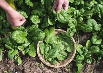 Spinat bei der Ernte